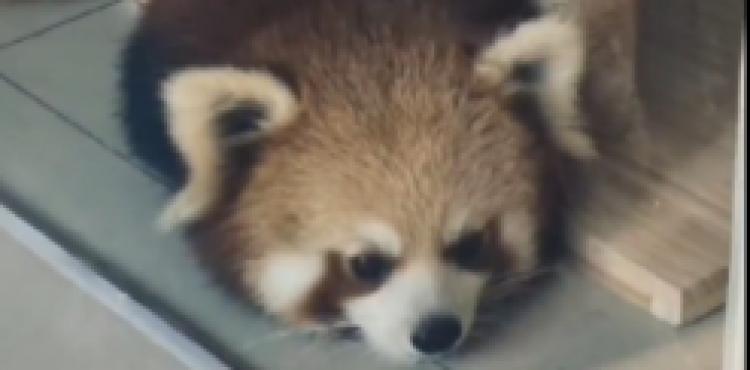 重庆一萌宠咖啡厅养小熊猫招客,网友发文质疑